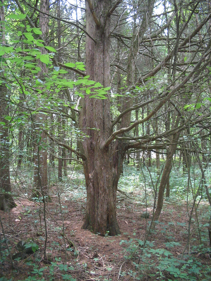 Letterboxing_tree
